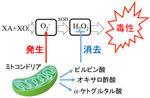 有機酸が活性酸素からミトコンドリアを保護する仕組みを解明 アンチエイジング研究への応用に期待 -- 東京工科大学応用生物学部