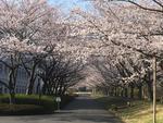川村学園女子大学 桜の公開について