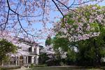 清泉女子大学が公式SNS「清泉桜だよりシリーズ」で桜の開花状況を公開