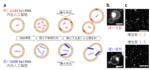 神奈川大学 総合理学研究所 菅原正客員教授らの研究グループが、人工細胞において、DNAの長さが分裂を制御することを解明。その研究成果が英国Nature姉妹誌の『Scientific Reports』に掲載された。