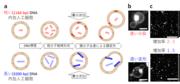 図上段: 短いDNAを内包した場合、下段:長いDNAを内包した場合.png