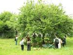 今年で5年目となる相模女子大学オリジナル梅酒「翠想」の製造が始まりました。