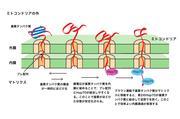 【済】_201907--_【大学プレス●】【京都産業大学】ミトコンドリアのプレ配列をもつタンパク質の内膜透過に必須の膜電位の役割を解明.jpg