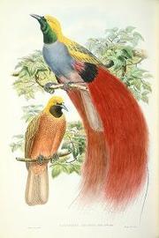 博物館:P9:メイン画像:N1 ベニカザリフウチョウ『ニューギニア及びパプア諸島鳥類図譜』第1巻.jpg