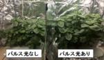 徳島文理大学が東西電工株式会社と植物栽培用の新型LEDライトを共同開発 -- タデ藍のインディカン量が2倍以上に増加