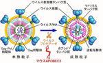 がんやエイズの原因となる「レトロウイルス※1」の働きを阻害する新しい仕組みを世界で初めて解明