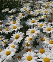 除虫菊.png