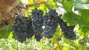 たわわに実ったワイン用葡萄 .jpg
