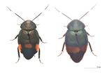 35年ぶりに日本からのゴキブリ新種の発見