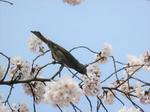 鳥が花蜜を味わう新たな仕組みを解明「スズメ亜目を鳥類最大の種数へ繋栄させた糖の味受容機構」が明らかに