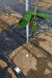 カカオの木とモニタリングセンサ.jpg