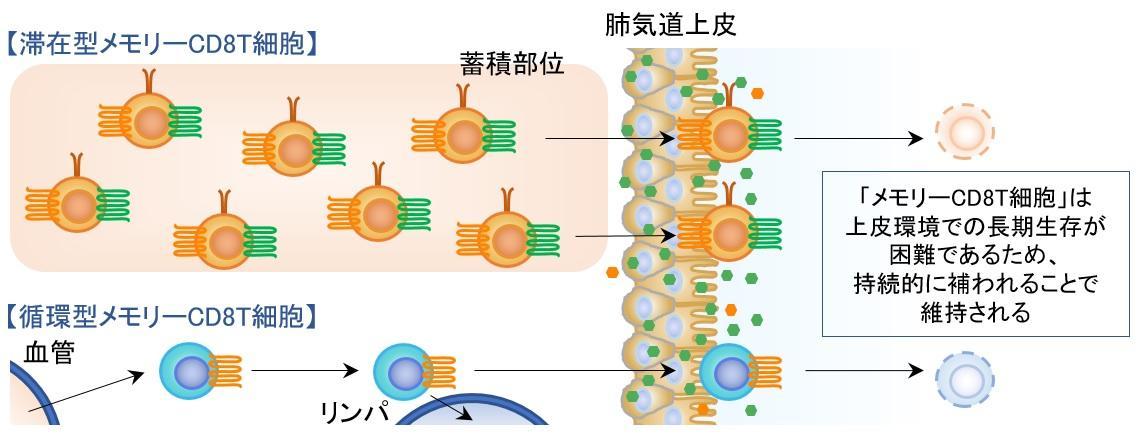 インフルエンザウイルス感染防御に有効な免疫システムを解明 新たなインフルエンザワクチンの開発に大きな期待