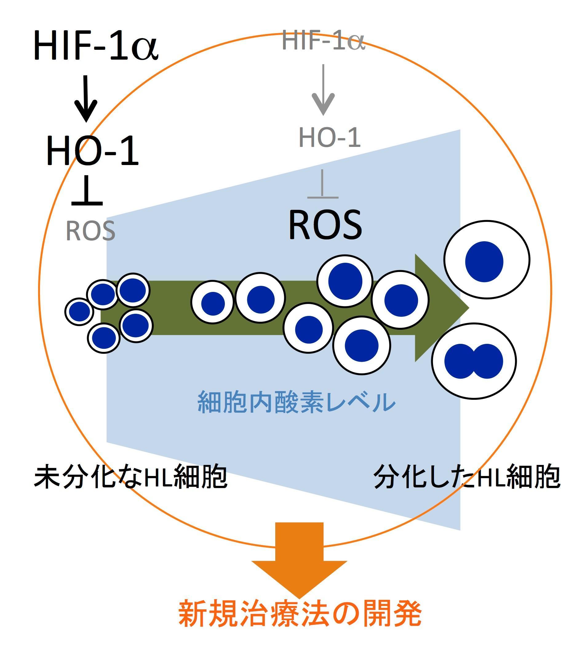 がん細胞の分化制御機構の解明と治療への応用の可能性 -- 北里大学