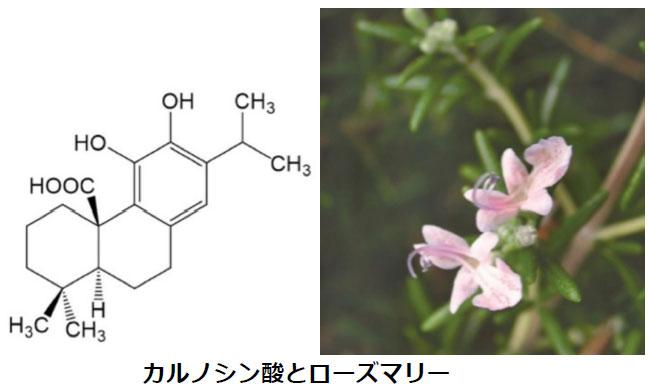 ローズマリー由来の物質がアルツハイマー病を抑制 -- 東京工科大学応用生物学部