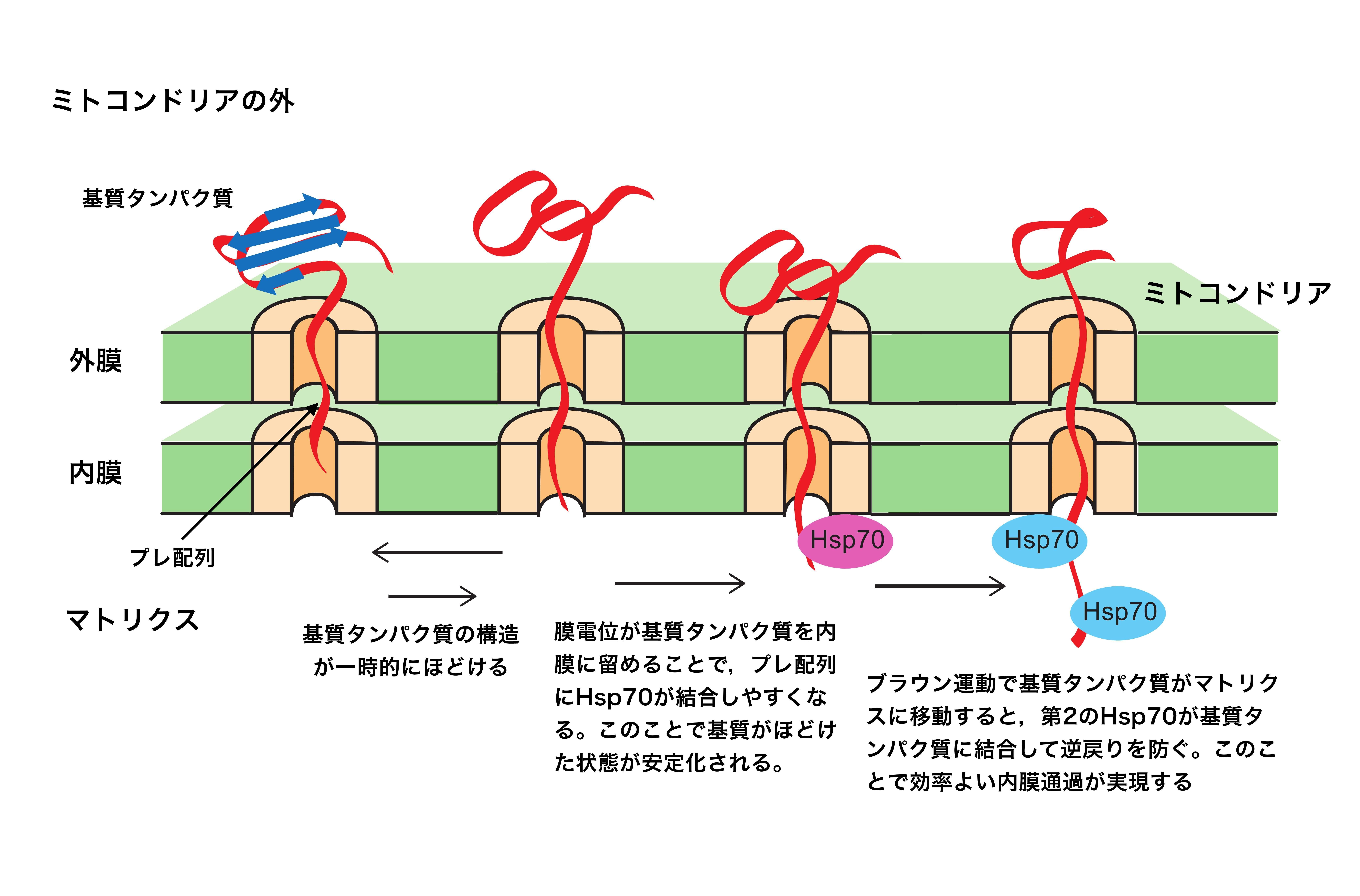 【京都産業大学】ミトコンドリアにおける膜電位の定説を覆す役割を解明 -- Scientific Reports誌に掲載