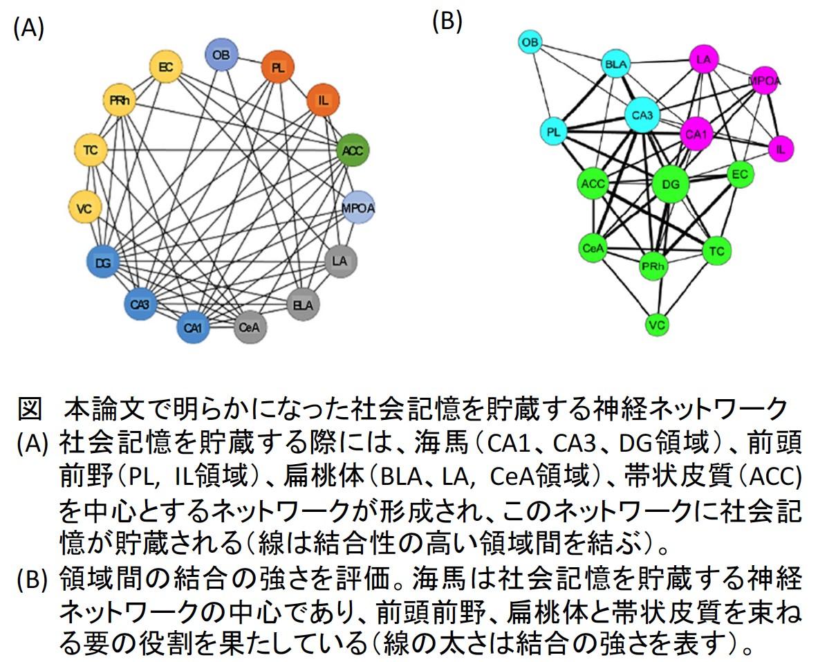 東京農業大学、他者を認識する社会記憶の神経メカニズムを解明~自閉症の病態解明・改善等へ期待~