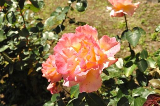 フェリス女学院大学ボランティアセンターの学生スタッフによる国際・平和人権活動「アンネのバラ育成プロジェクト」 -- 今年も「アンネのバラ」が満開に