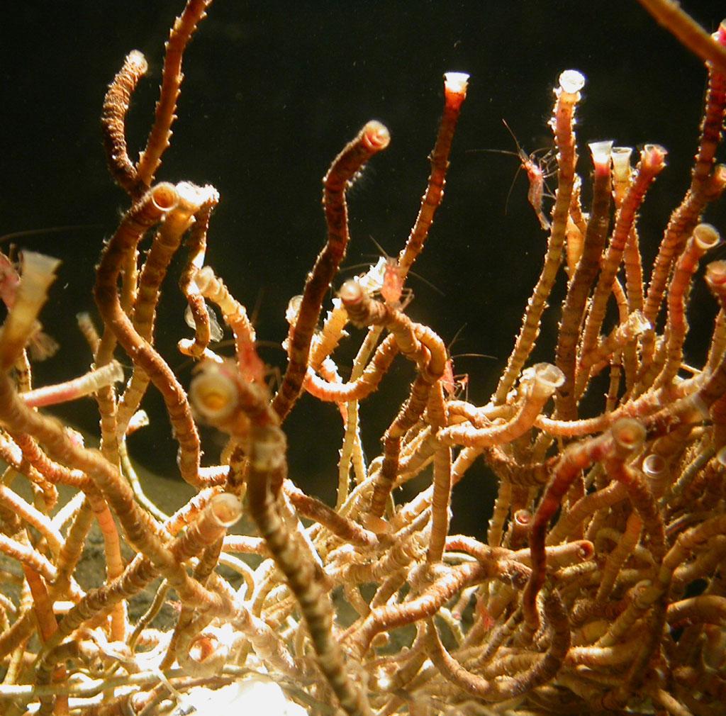 北里大学三陸キャンパスが学生食堂で深海の生物飼育研究を学生に公開――将来はHP上でバーチャル水族館も