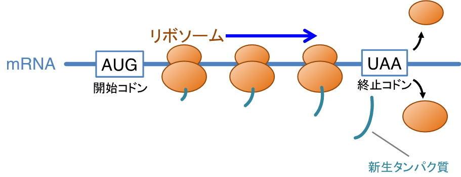 【京都産業大学】タンパク質合成の異常から細胞を救う新たなタンパク質を発見 -- 英国科学誌『Nature Communications』オンライン版に掲載