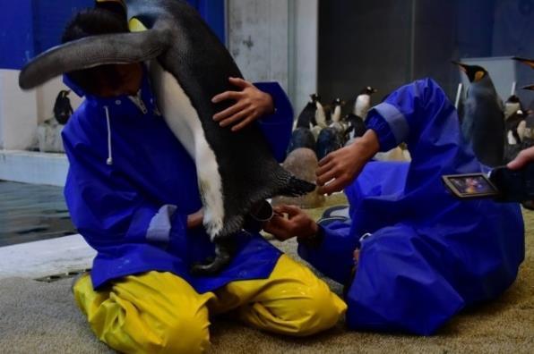 アドベンチャーワールド×生物理工学部 バンドウイルカとキングペンギンの人工授精へ向けた共同研究がスタート 精子を凍結させる保存液の開発と使用技術の確立を目指す -- 近畿大学