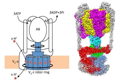 【京都産業大学】生命エネルギーの生成に関わる液胞型プロトンポンプタンパク質の活性調節機構を解明 -- 電子版オープンアクセス科学雑誌「eLife」に掲載