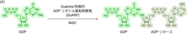 DNAを基質とするADPリボシル基転移酵素の基質複合体構造を解明 -- 京都産業大学