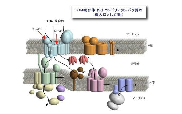【京都産業大学】ミトコンドリアのポリンがミトコンドリアタンパク質搬入装置の集合を制御することを発見