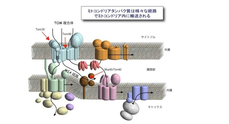 【京都産業大学】エントロピーが駆動する新たなミトコンドリアタンパク質輸送機構を発見