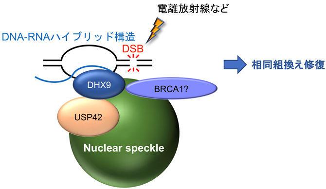 DNAの修復機構を制御する新たな因子を解明  低線量のがん放射線治療への応用などに期待  -- 東京工科大学大学院バイオニクス専攻