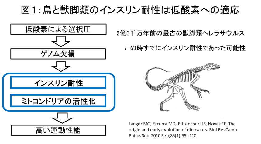 鳥への進化はインスリン耐性から始まった 進化学説を論文発表 -- 東京工科大学応用生物学部
