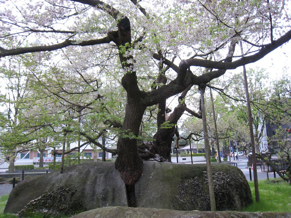 北里大学海洋バイオテクノロジー釜石研究所発「石割桜の酵母」を生かした商品づくり――試作用酵母を岩手県内の食品製造業者に無料で提供