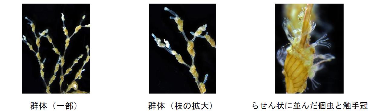 日本の沿岸域に生息するツブナリコケムシの仲間の新種を3種発見 -- 北里大学