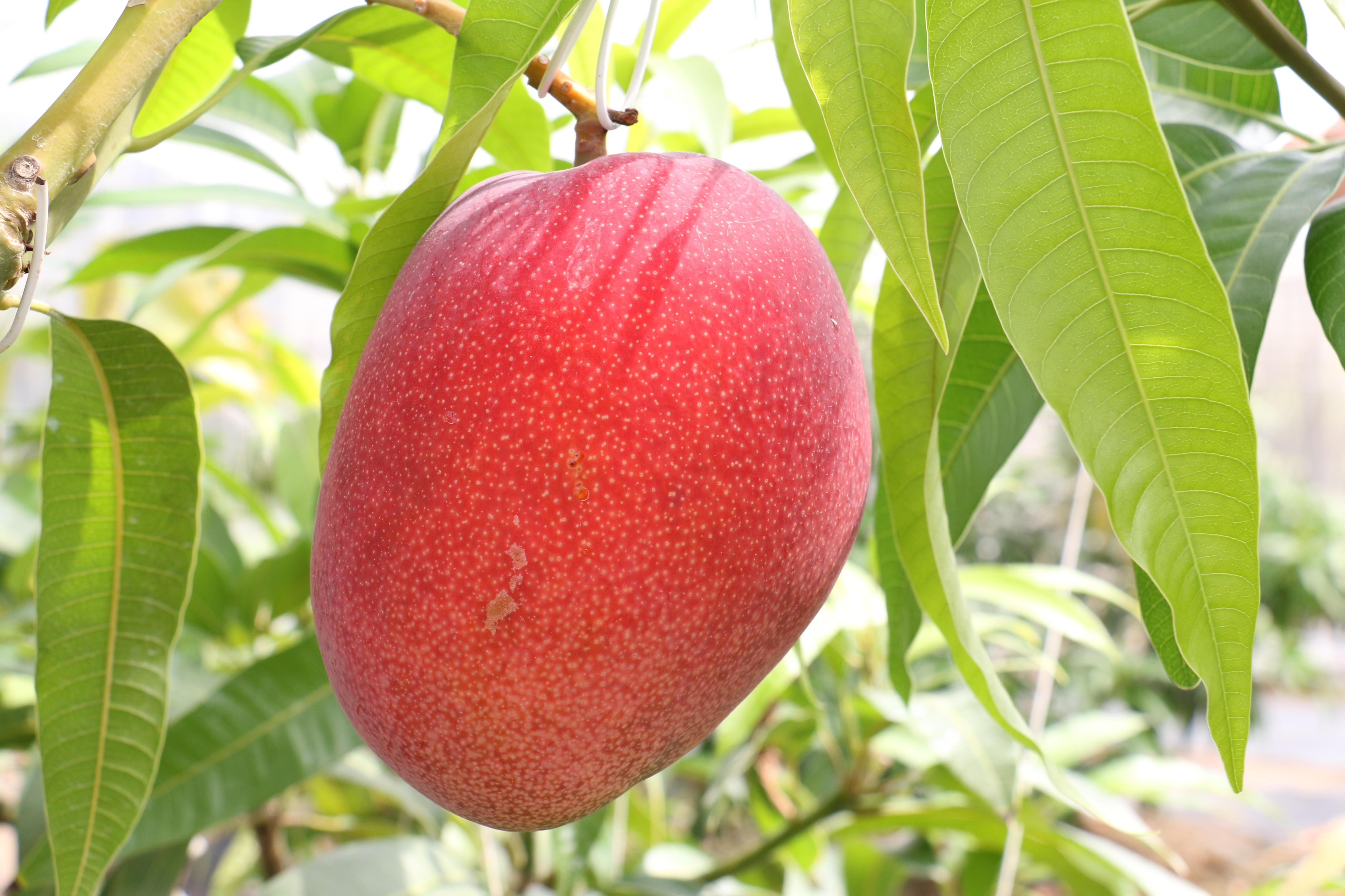 マンゴーの葉に皮膚の老化防止作用を発見 廃棄されているマンゴーの葉の有効活用に期待 -- 近畿大学