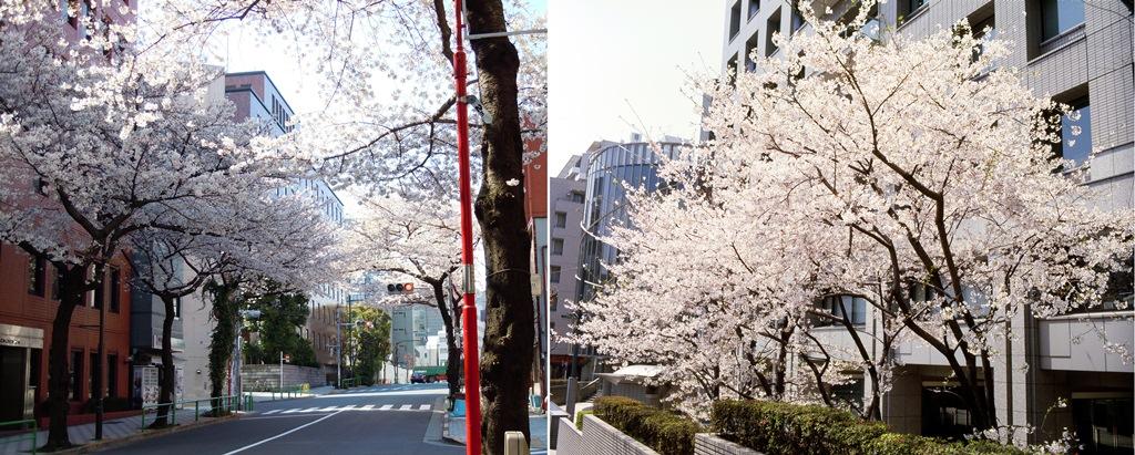 千代田・多摩・狭山台の3キャンパスで楽しめる「桜のアーチ」――大妻女子大学
