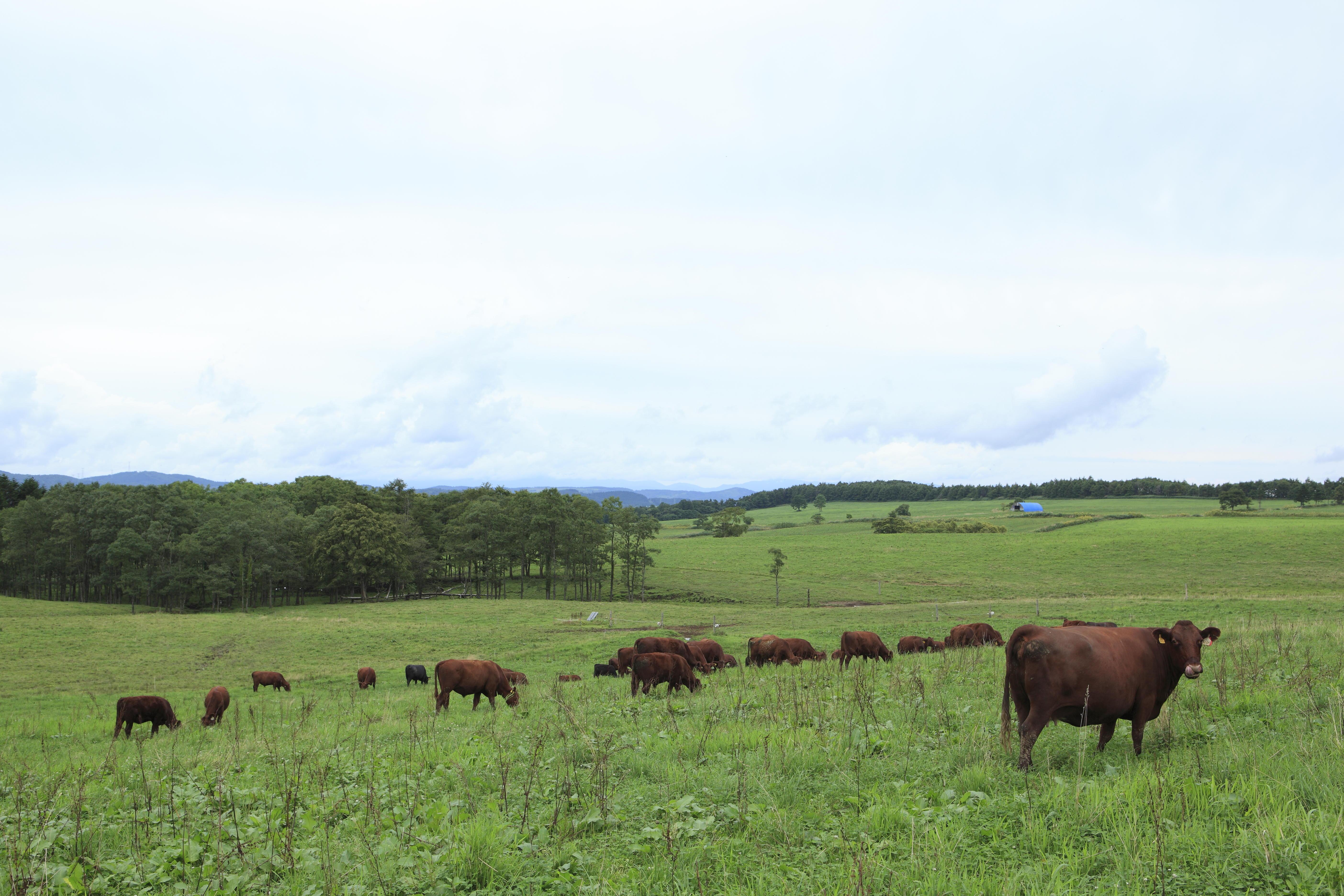 北里八雲牛が日本テレビ『満天☆青空レストラン』(8月10日放送予定)で特集されます -- 北里大学
