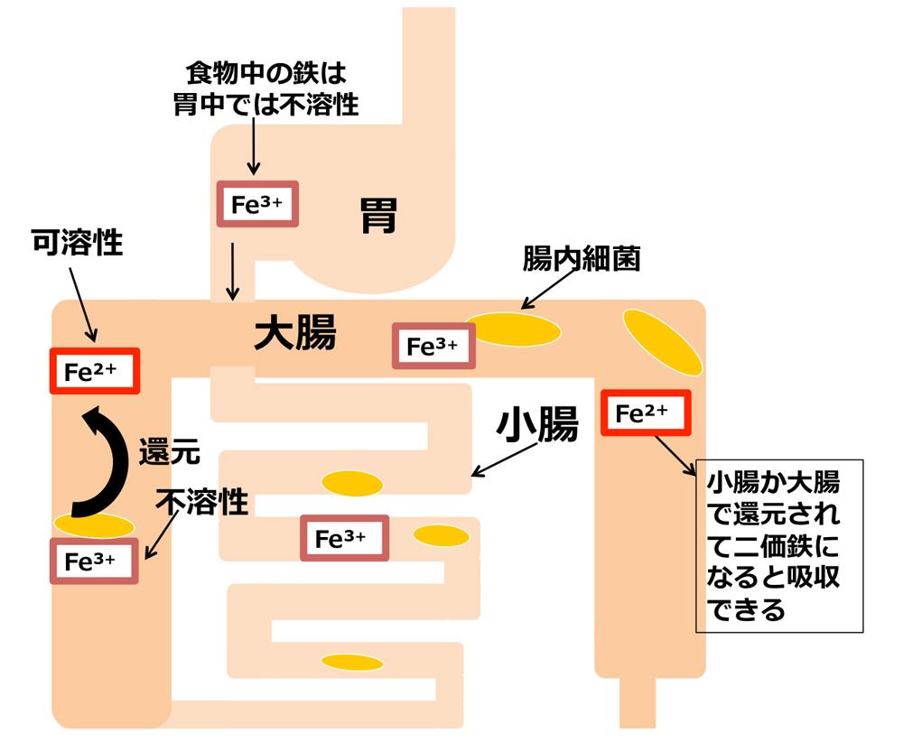 「腸内細菌」が「鉄分」の吸収を助けていることを発見 ――東京工科大学応用生物学部