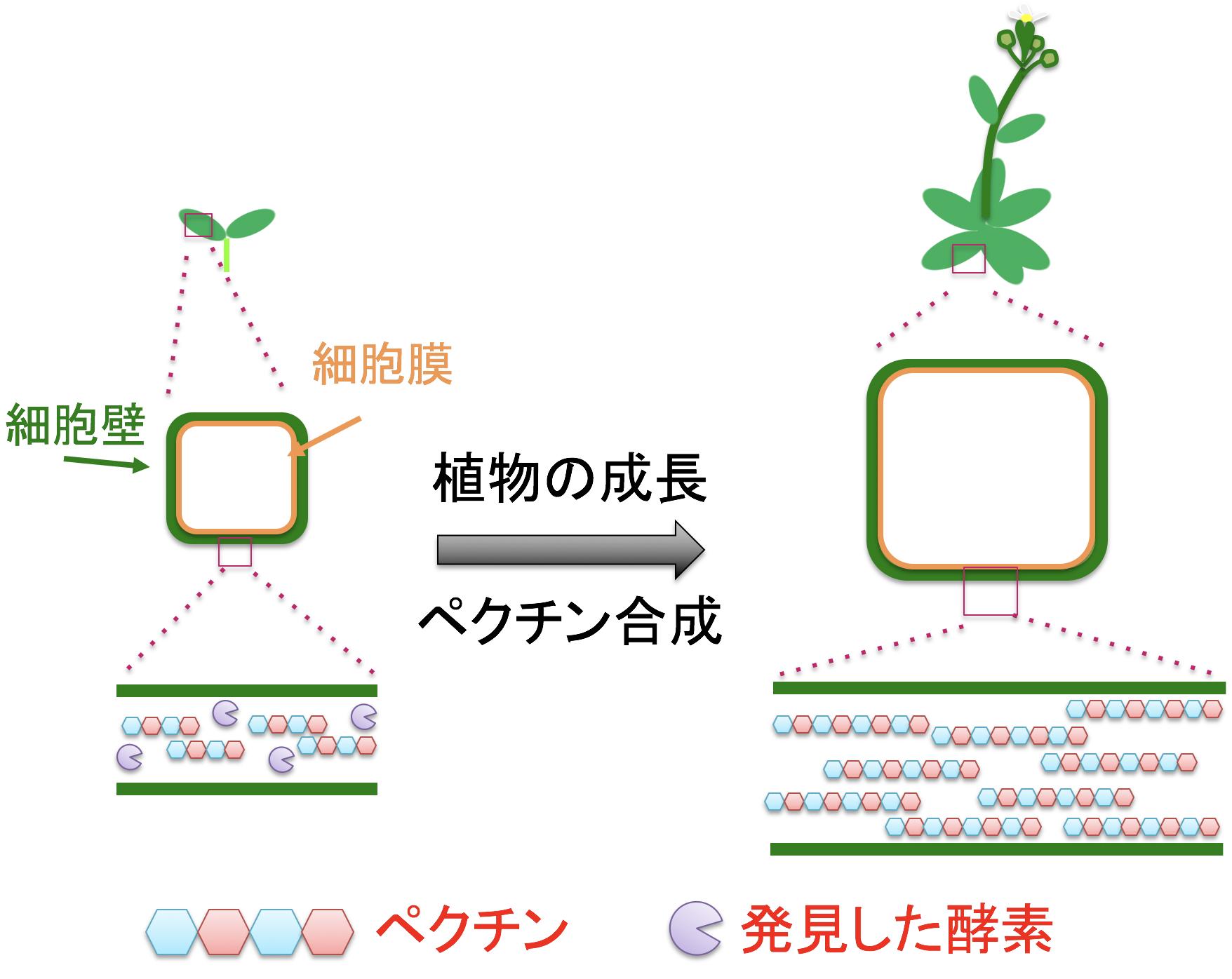 植物の陸上進出の鍵物質がペクチンであった ~ 植物成長に伴う細胞壁ペクチン合成の仕組みを解明 ~ --立命館大学--