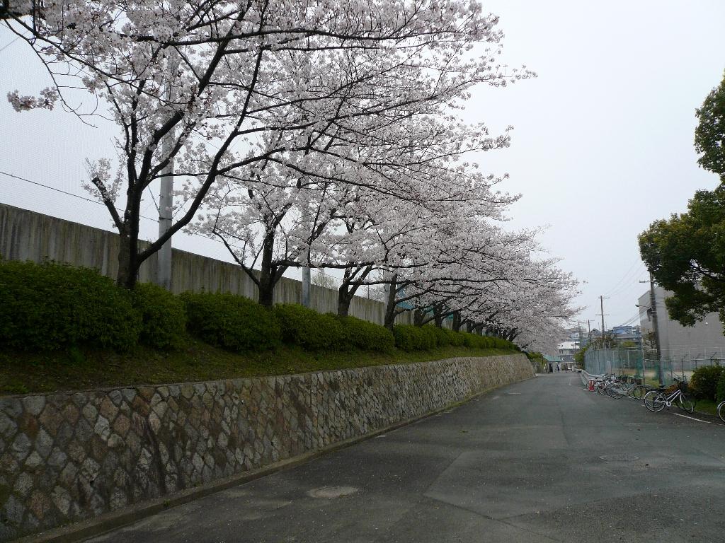 ソメイヨシノの桜が満開となる大阪学院大学・千里山グラウンド「観桜」一般開放開始