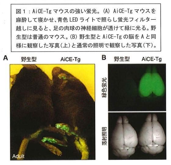 徳島文理大学香川薬学部の研究グループが脳の可塑的変化の検出方法を開発 -- 記憶を目で観る新手法、記憶障害への創薬応用にも期待