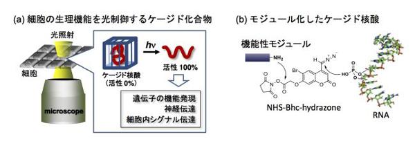 東邦大学の院生らによる論文がアメリカ化学会の「2012-13 Virtual Issue」に選出 ――ケージド核酸にモジュール化の考え方を適用したプラットフォーム分子の開発