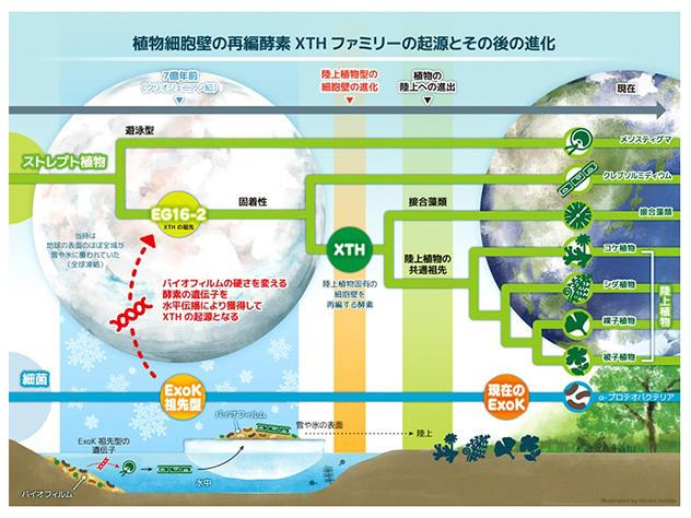 神奈川大学理学部生物科学科の西谷和彦教授、篠原直貴非常勤講師が、植物細胞壁再編酵素XTHの起源の研究成果に基づき、生物陸上化の新しいシナリオを提唱しました