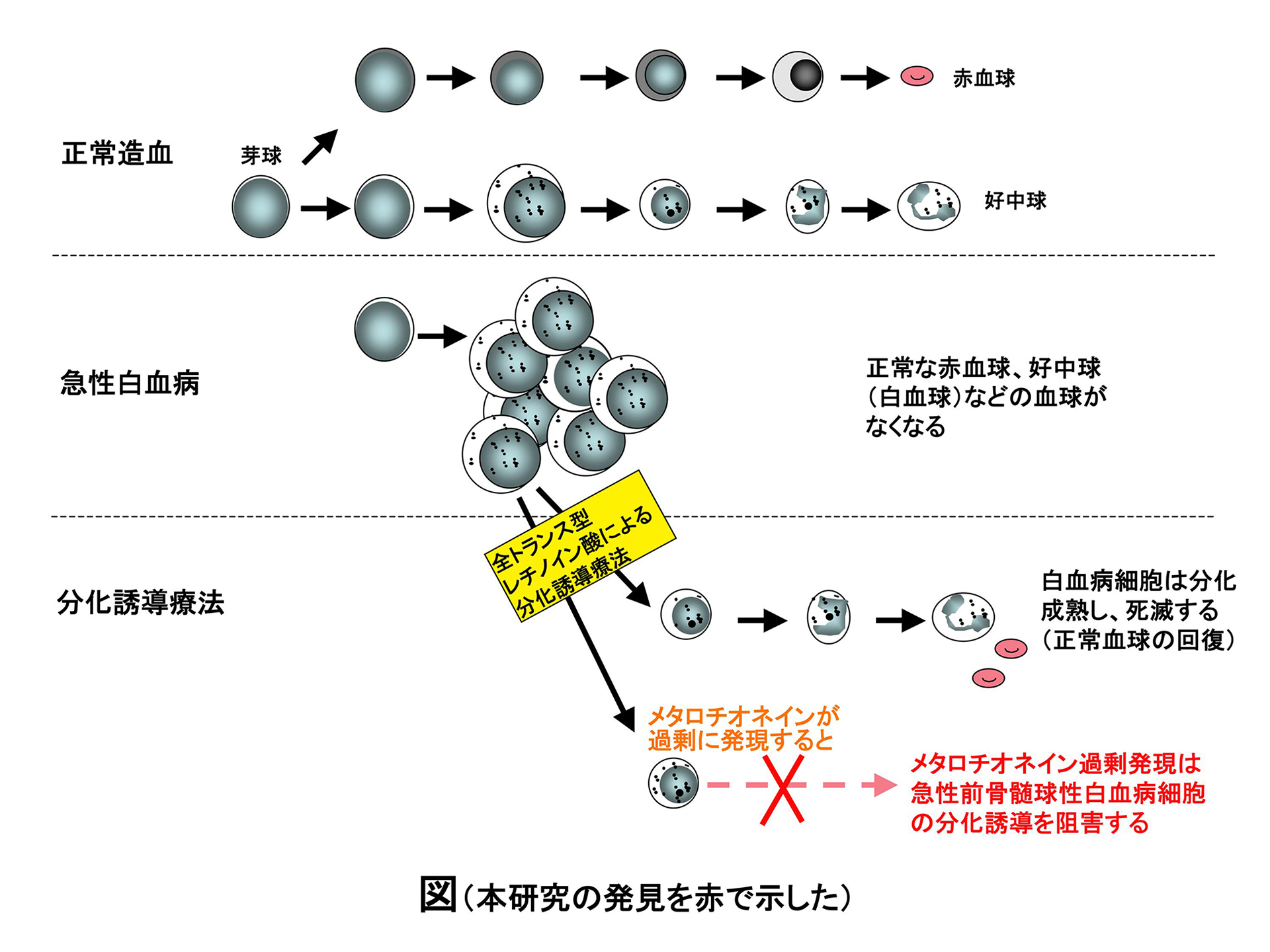 北里大学が顆粒球系細胞分化を制御する遺伝子を新たに同定