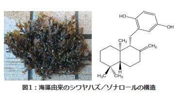 褐藻類の成分が「潰瘍性大腸炎」を抑制することを発見 予防治療などへの応用に期待――東京工科大学応用生物学部