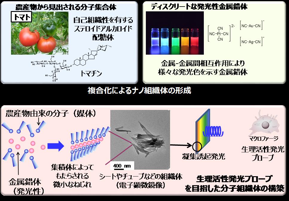 崇城大学黒岩敬太教授と池田剛教授らの研究グループがトマトの成分を利用して新たな発光ナノ材料を開発 -- 農作物の活用されない部分を最先端科学でナノテクノロジー材料に