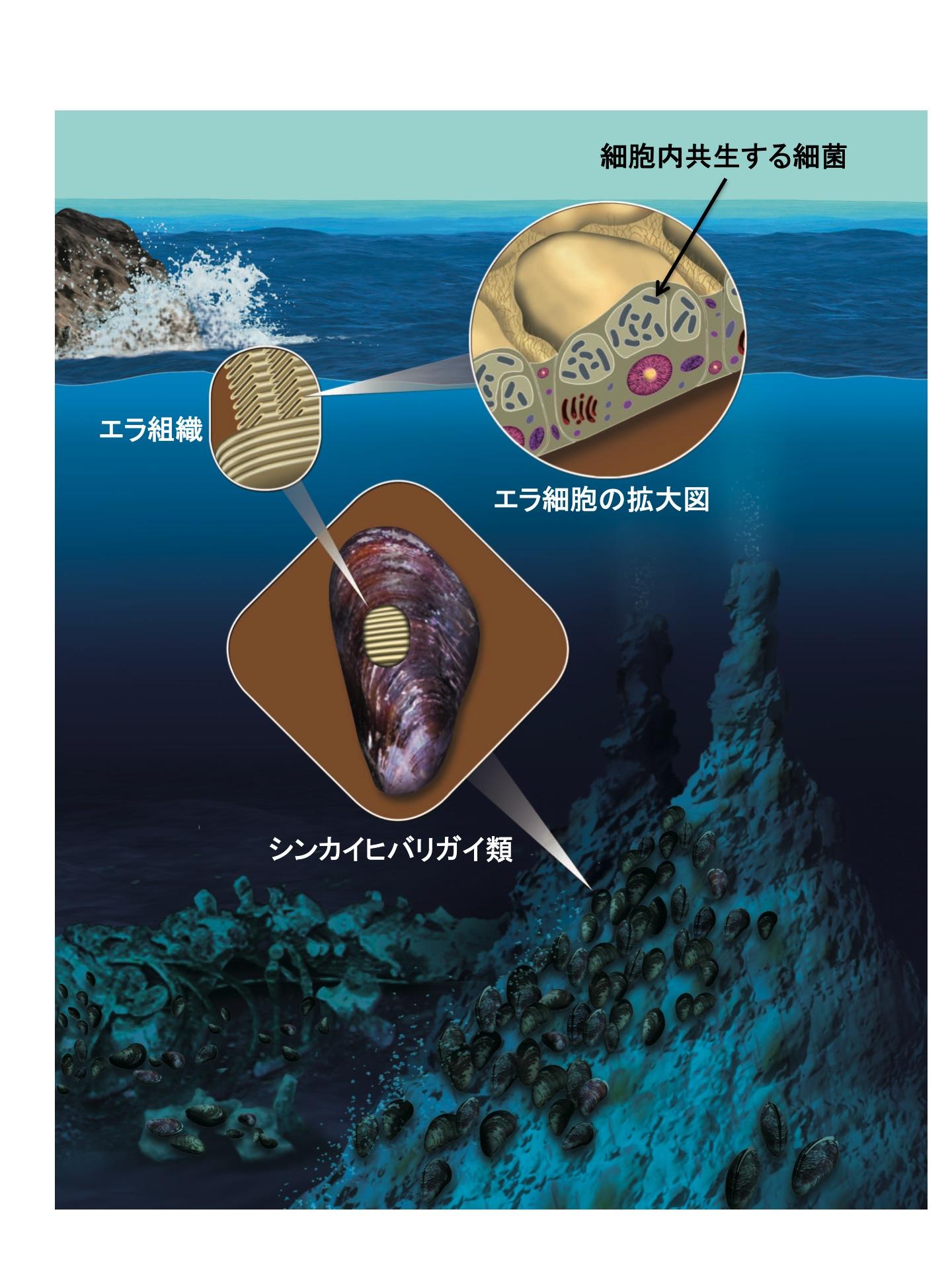 北里大学の研究グループが、深海に生息するシンカイヒバリガイ類を含むイガイ科二枚貝に共通する血球の種類と貪食作用を解明 ~深海生物の共生メカニズムを生体防御の視点から解明するための基礎的な知見~
