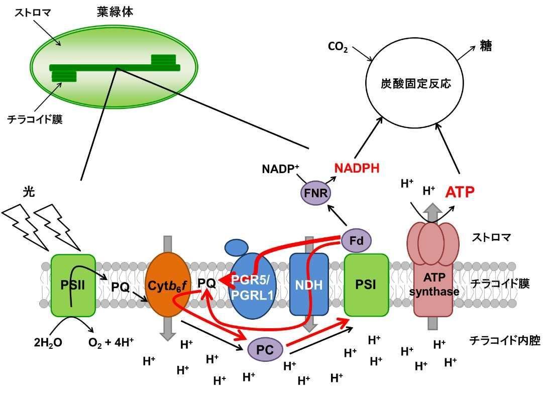 【京都産業大学】植物の光合成のオンオフを切り替える 酸化還元タンパク質「チオレドキシン」の新たな制御機構を解明--米国植物科学専門誌「The Plant Cell」オンライン版に掲載
