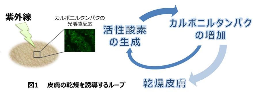 日焼けによる肌乾燥のメカニズムを解明 -- 角層細胞タンパクのカルボニル化と活性酸素生成のループが関与 -- 東京工科大学応用生物学部