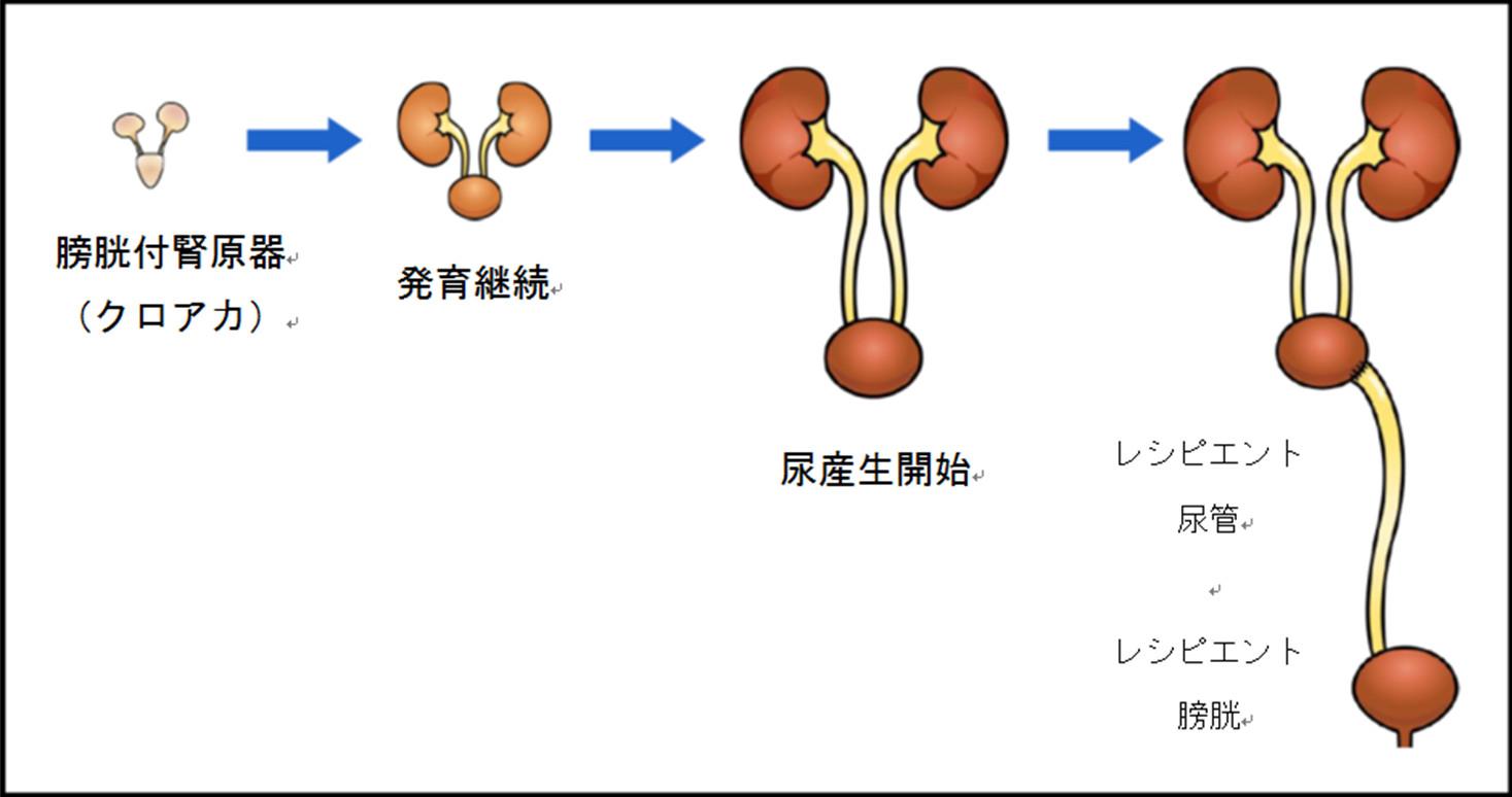 再生腎臓からの尿排泄に成功~臨床応用に向けた大きな一歩~明治大学