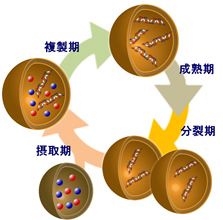 A recursive vesicle-based model protocell with a primitive model cell cycle -- 「何世代にもわたって細胞分裂できるモデル人工細胞」の構築に成功 -- 神奈川大学