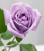 ◆関西大学が「世界本とバラの日 in 大阪」を開催◆学長&学生が指定書籍購入者に青いバラをプレゼント